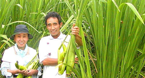 水口さん マコモ収穫